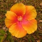Yellow and orange hibiscus