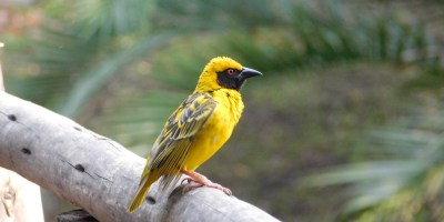 Male Masked African Weaver with bright yellow feathers