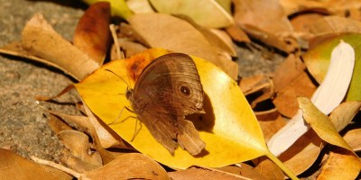 Brown butterfly resting on winter leaves