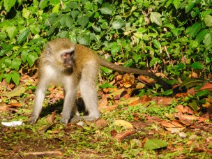 Vervet monkeys 5