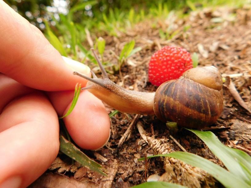 Common garden snail in KwaZulu-Natal