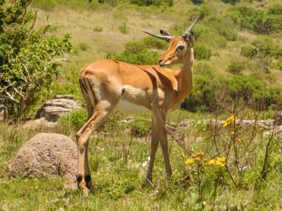 Antelope in the Lake Eland Nature Reserve, Oribi Gorge, KwaZulu-Natal