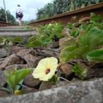 Yellow flower growing between the railway tracks