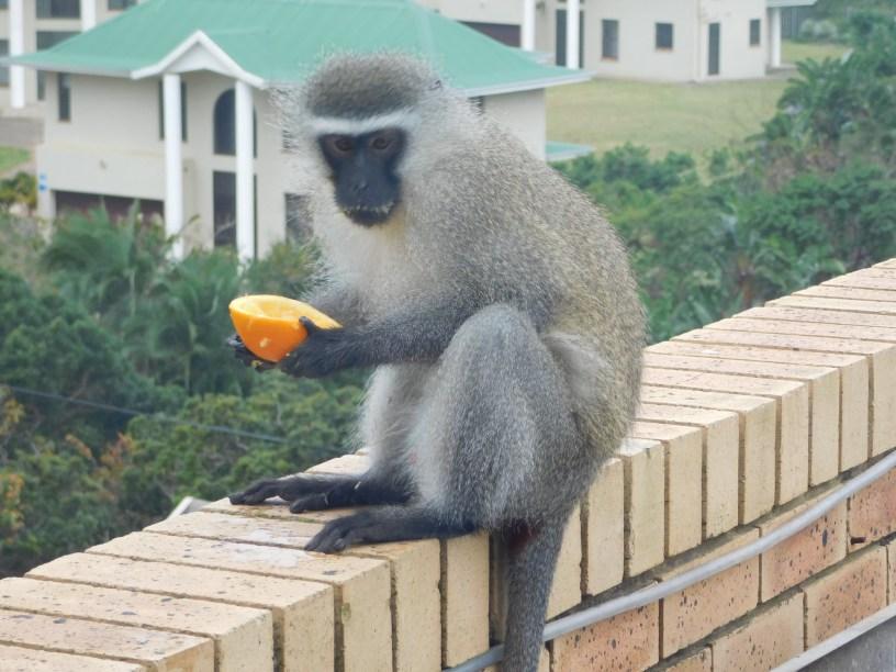 Cheeky vervet monkey sitting on the balcony wall having an orange