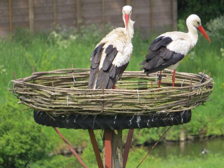 2016-05 ooievaars op nest achter molen; S.van Rijn