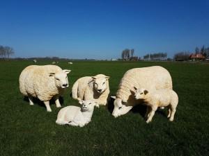 schapenbeelden winnen