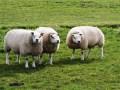 schapendiefstal