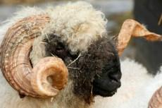 startende schapenhouder