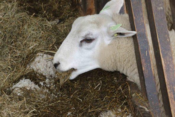 zwoegerziekte schapen blijven eten
