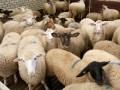 geblokkeerde schapen