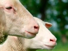 gedode schapen
