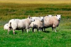 CO2-footprint schapen