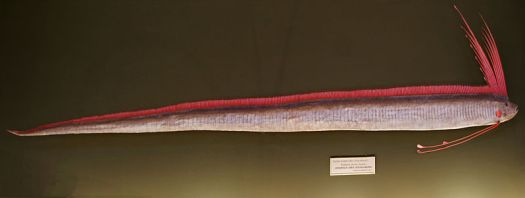 Regalecus glesne, Naturhistorisches Museum Wien