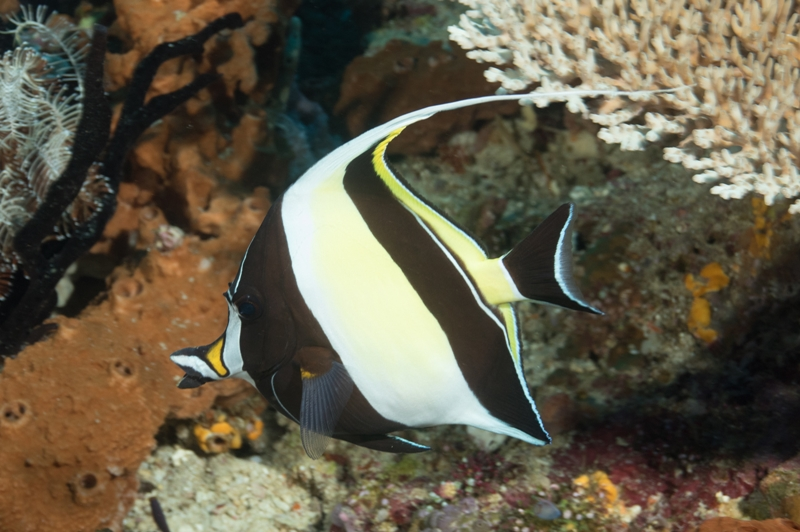 Ikan Moorish Idol