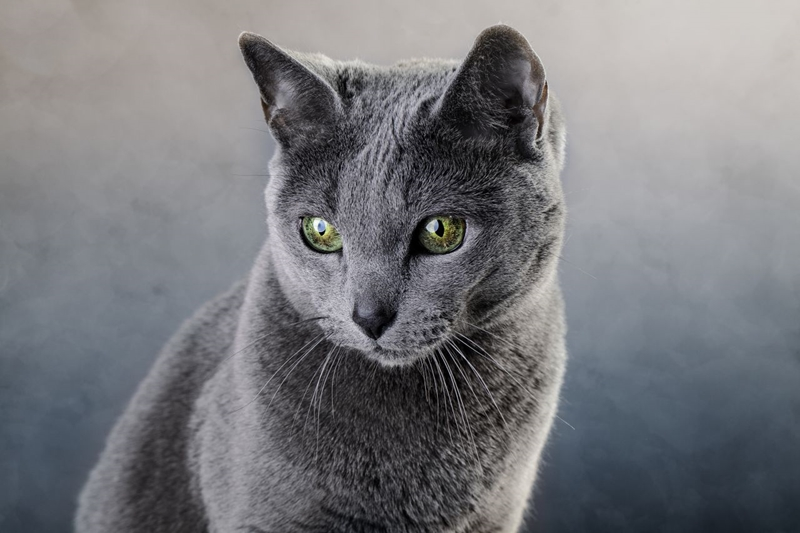 Jenis Kucing, Kucing Russian Blue