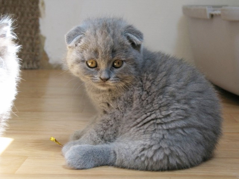 Jenis Kucing, Scottish Fold
