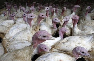Turkeys are pictured in a breeder house at the farm of French breeder Matthieu Coppoolse, poultry farmer for Doux, in Gien, central France July 5, 2012. Family-owned Doux, one of the world's biggest poultry exporters, has been weighed down by debts of 340 million euros ($423 million) and administrators have launched a call for bids, with a deadline later on Thursday ahead of a commercial court hearing on July 16. REUTERS/Jacky Naegelen (FRANCE - Tags: AGRICULTURE ANIMALS BUSINESS COMMODITIES)