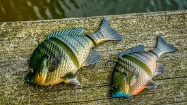 5-inch-and-4-inch-3d-bluegill-1200px