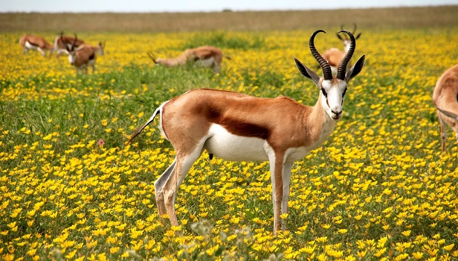 Antelope-Spirit-Animal-Symbolism-and-Meaning