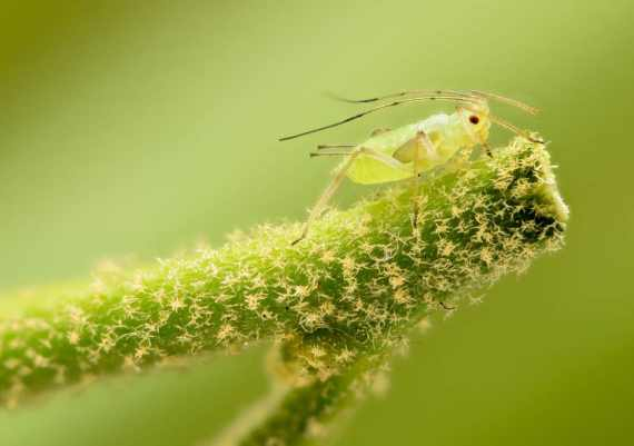 aphid-1