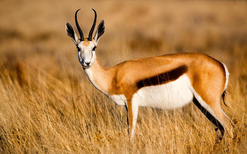 what-do-antilopes-eat