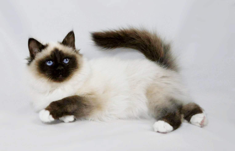 Kucing Persia Makanan Jenis Dan Cara Perawatannya