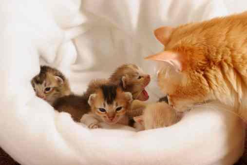 kucing-melahirkan1