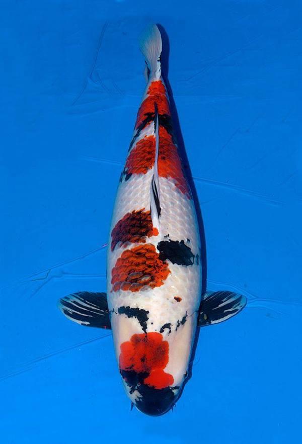Ini Foto  Ikan  Koi  Terbesar di Indonesia dan Dunia