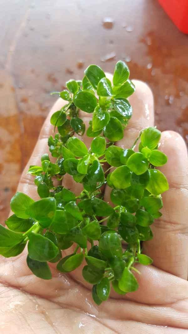 jenis-anubias-Anubias-Petite-aquascape