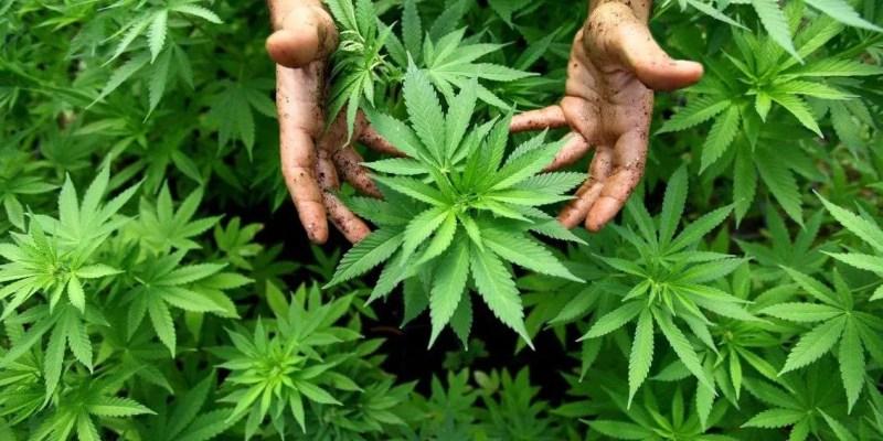 L'usage de cannabis réduit la mortalité chez les patients brûlés