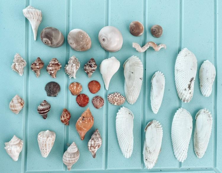 florida gulf coast shells angel wings shelling