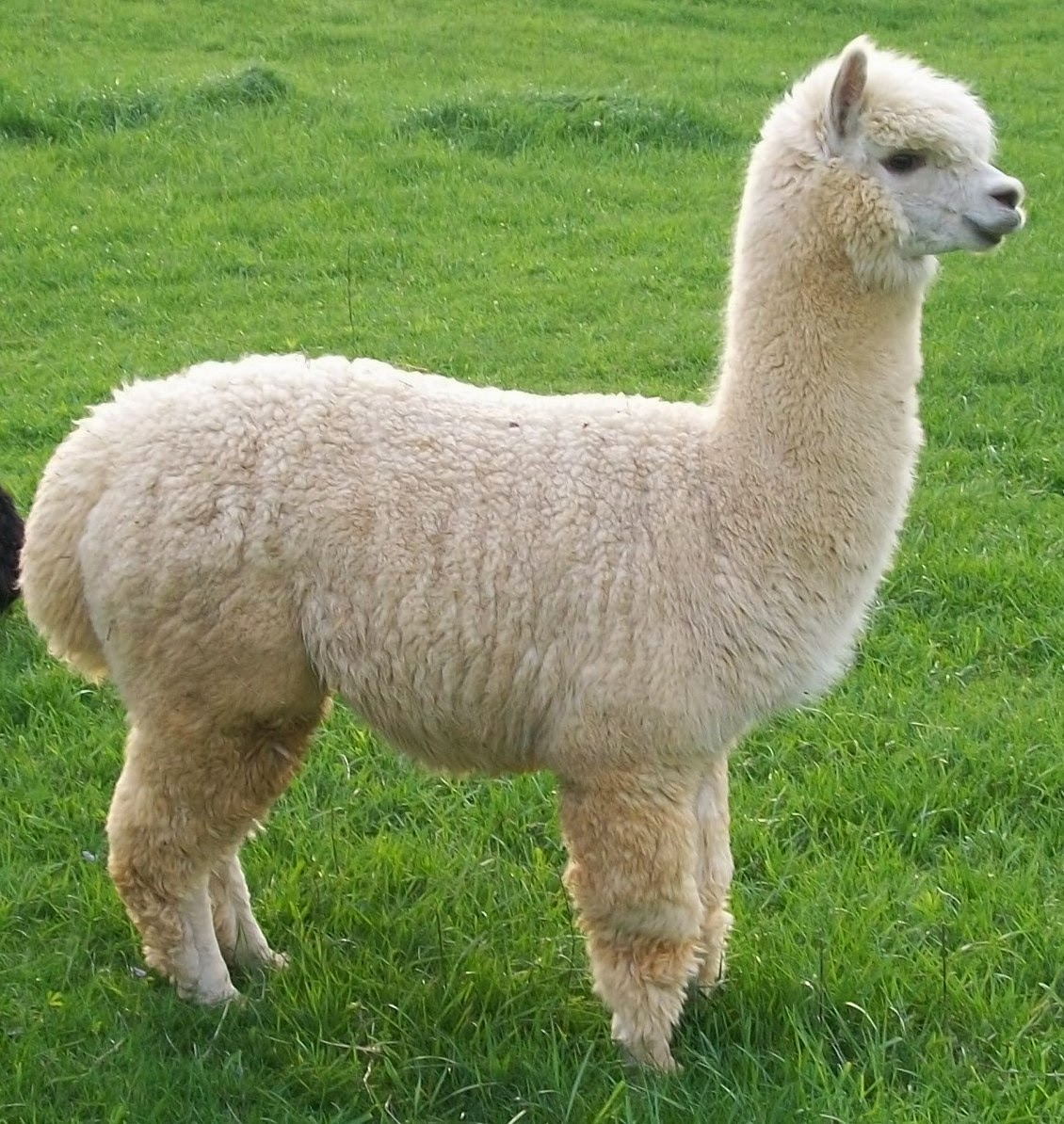 Alpaca Show And Fiber Arts Workshops In Sevierville