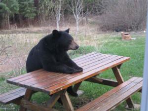 picnic-table-bear-heysmokies
