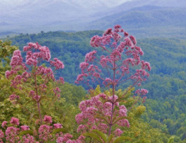 joe-pye-weed-late-summer-wildflowers-heysmokies