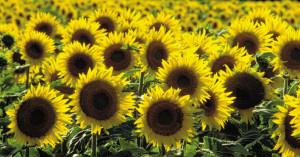 sassy-sunflower-heysmokies