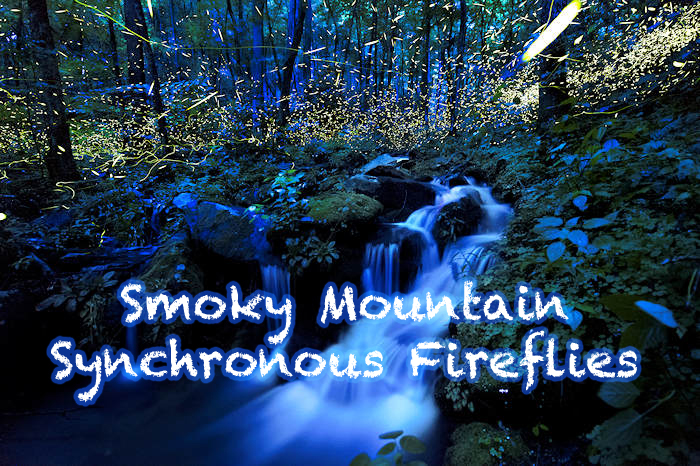 Smoky Mountain Synchronous Fireflies