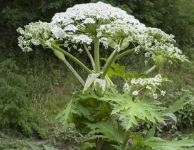 Giant Hogweed invades the Smoky Mountain region.