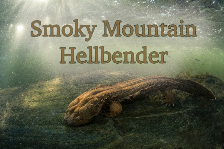 Smoky Mountain Hellbenders are the largest salamander in Great Smoky Mountains.