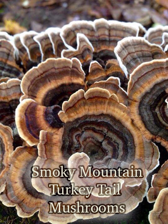 Smoky Mountain Turkey Tail mushroom