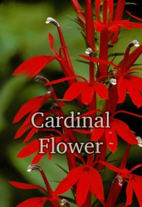 Hummingbirds love cardinal flower.