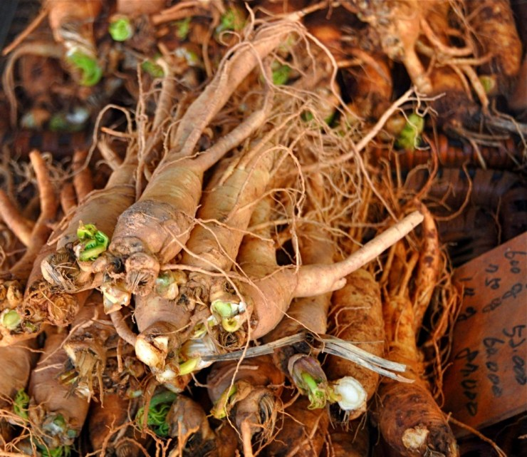 The health benefits of Ginseng are contained in the roots.