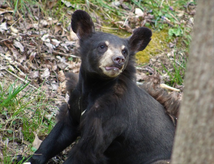 Hartely is one of the many bears rescued by ABR.