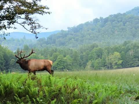 Smoky Mountain Elk Rut is is heating up. Photo credit - Lori's Outdoor Photography