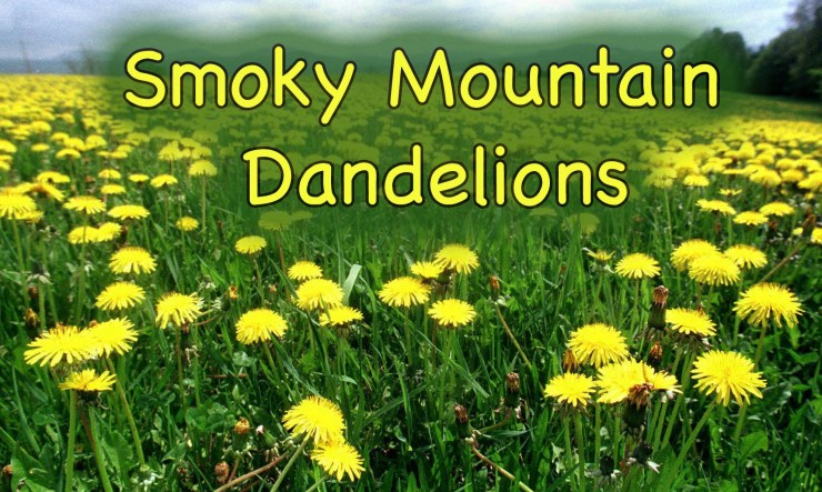 Smoky mountain dandelions are nutritious and delicious!