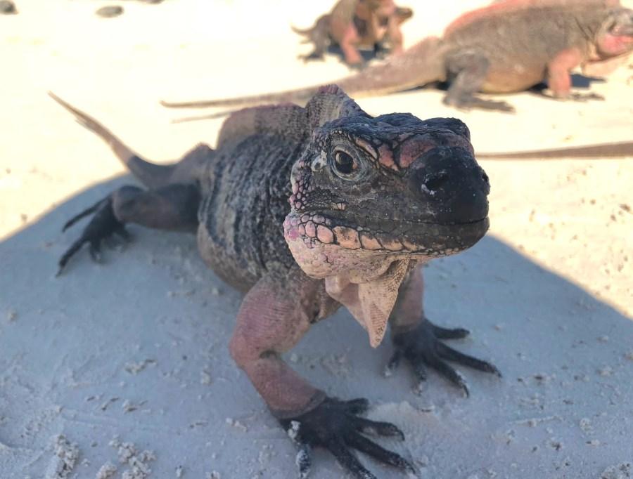 Iguanas in Great Exuma