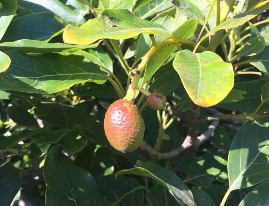 Avocado Tree, Ventura, CA