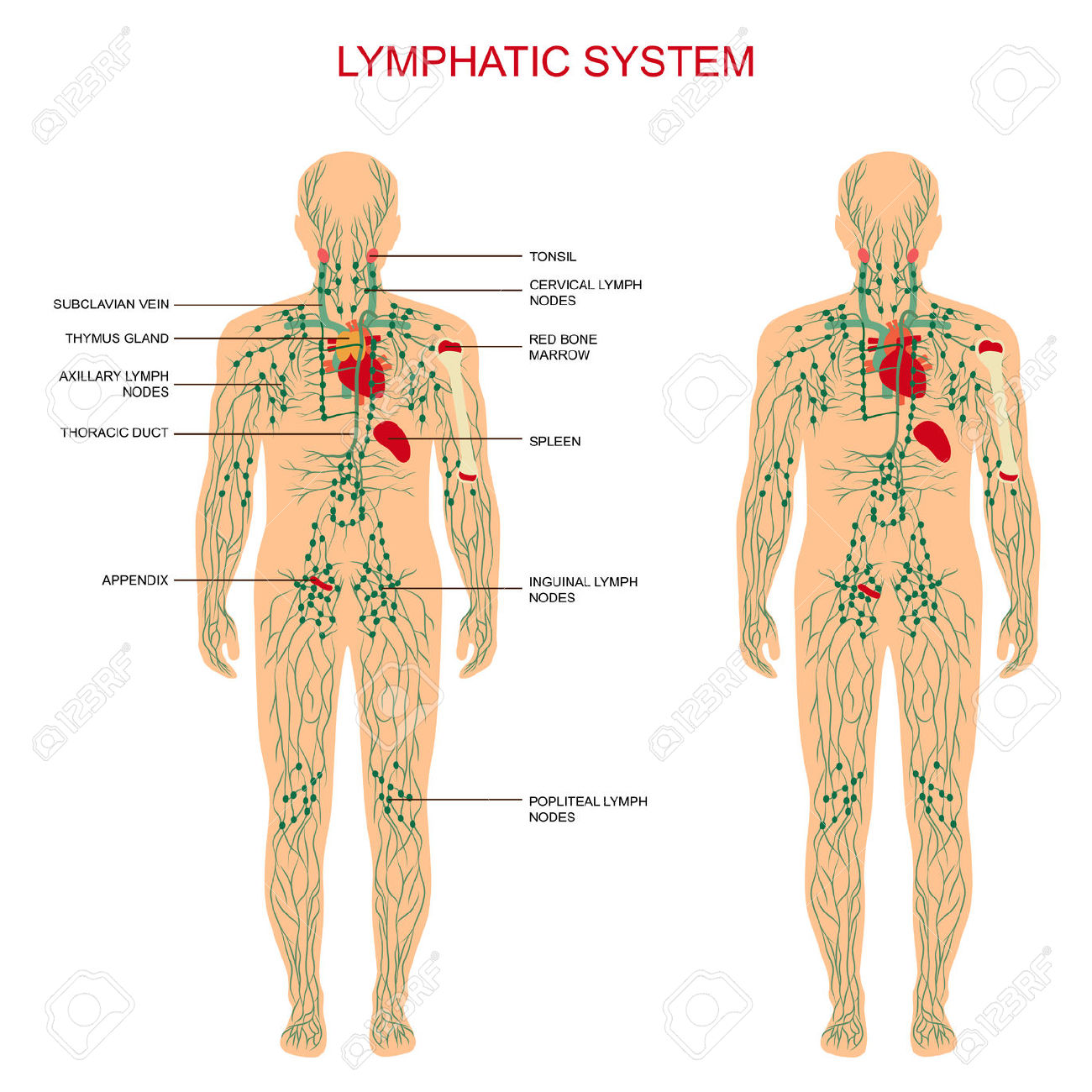 The Lymphatic System Is The Most Crucial System In Your Body