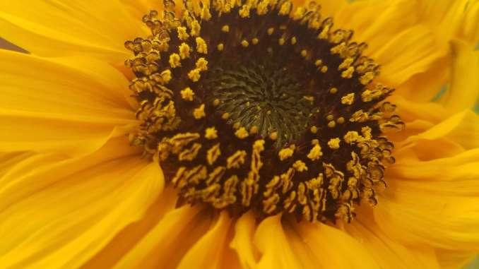 mobey sun flower
