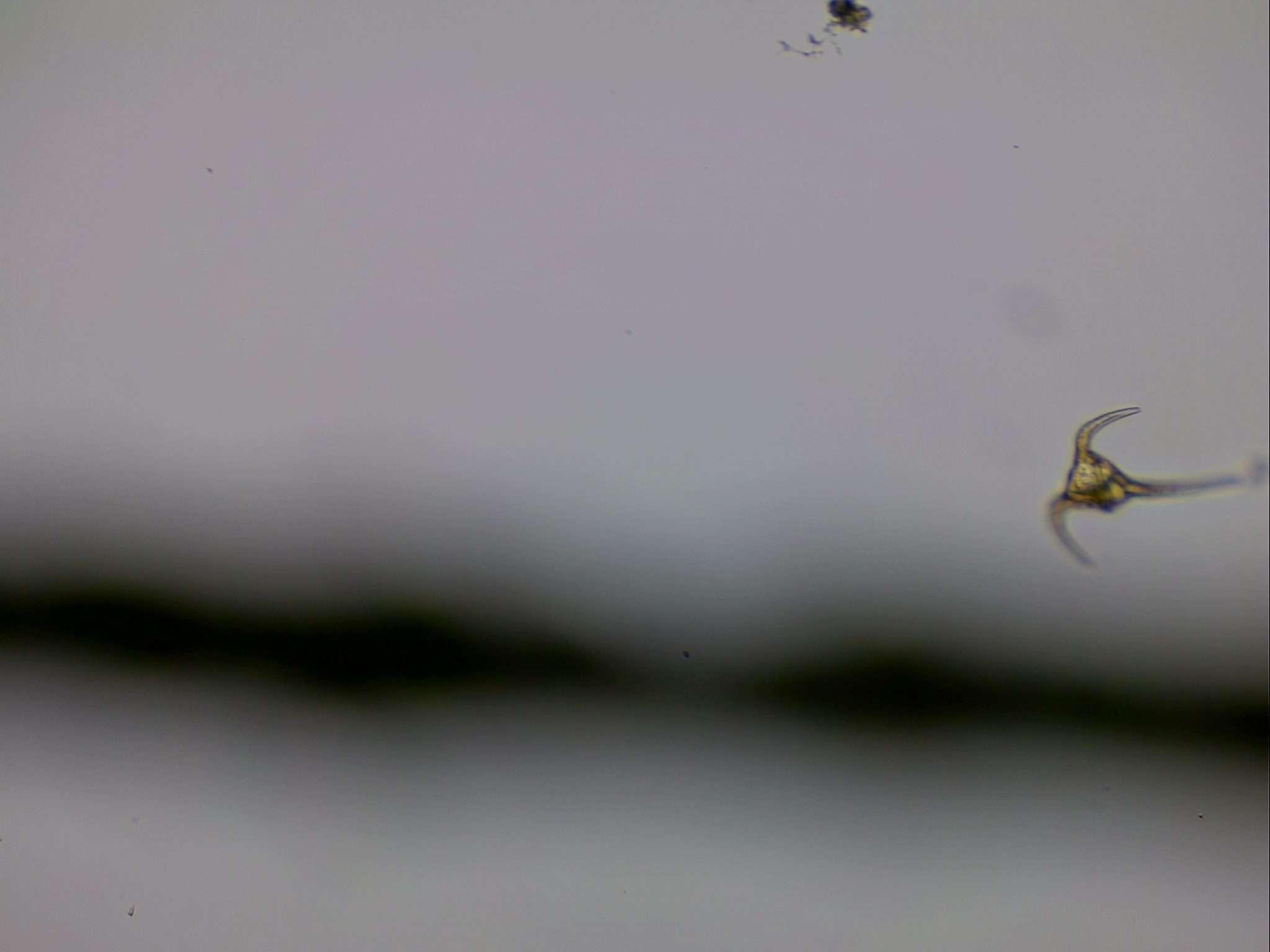 Longipes, Phytoplankton