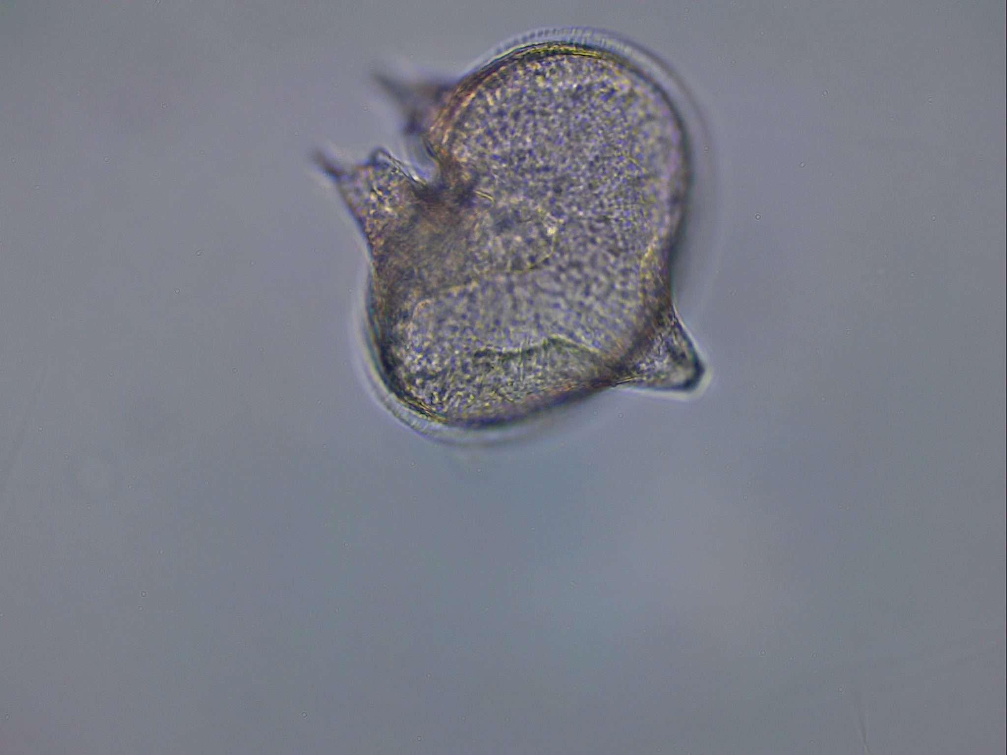 Protoperidinium